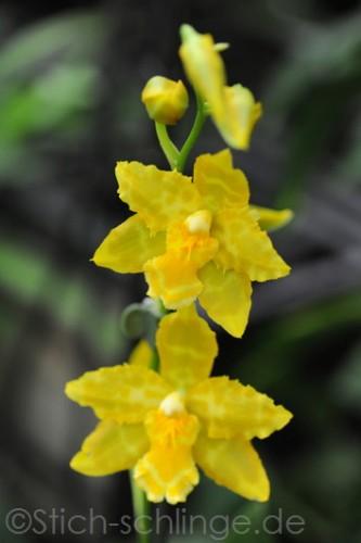 Orchideen2015 07 07