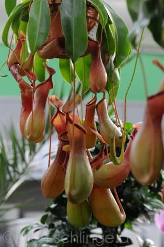 Orchideen2015 09 09