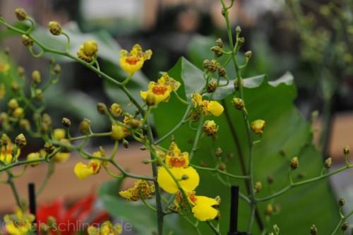 Orchideen2015 10 10