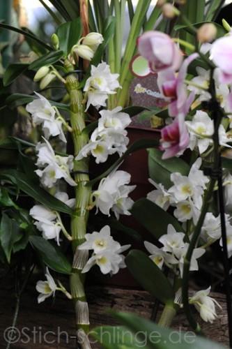 Orchideen2015 20 20