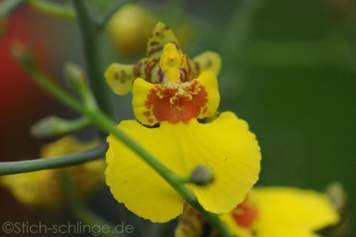 Orchideen2015 21 21