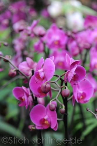Orchideen2015 28 28